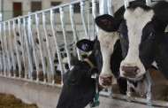 OPINION — Average gestation-time makes calves healthier, not more productive
