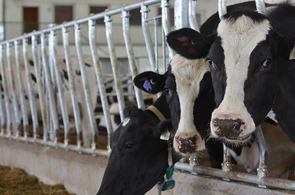 dairy cows2
