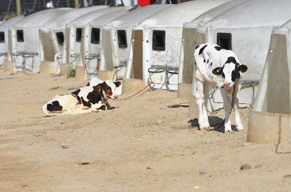 Tremblay photo of calves