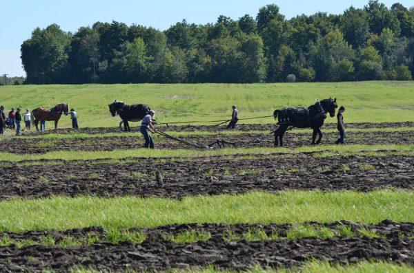 plowing horses longshot