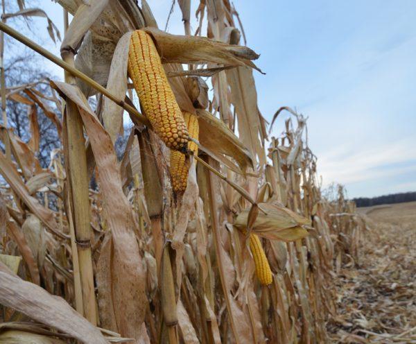 Corn harvest (2013)