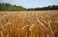 Scientists finally sequence wheat's genome, opening up door to better hybrids