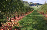 Apple growers finally see high yields and good quality