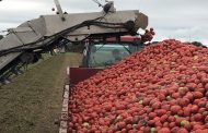 WESTERN ONTARIO: Tomato growers say its one of the best seasons in a decade