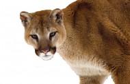 Cougar killed after killing nearly 40 sheep in one night at Alberta sheep farm