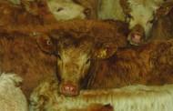 Cattle buyer, former cattlemen's president Glenn Coultes dead at 79