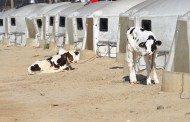 OPINION: Pneumonia has serious and long-lasting effects on calves