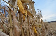 Corn growing in popularity in Western Canada