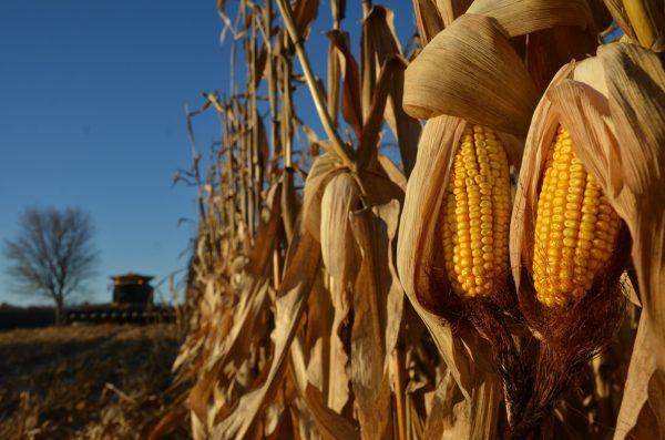 Corn in Sun (2015)