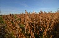 WESTERN ONTARIO: Wet weather delays soybean harvest, but most farmers optimistic about record yields