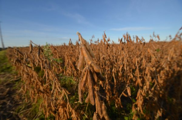 Soybeans in Prescott-Russell