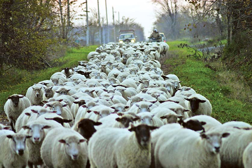DAN NEEDLES: How sheep destroy the animal rights' arguments