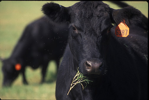 Beef cow head2013