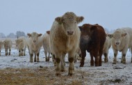 Quebec farmer's stolen cows recovered in Ontario
