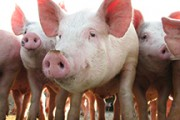 Alberta hog producers forced to immunize sows against PEDV by feeding them infected pilget's feces