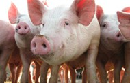 ASF devastates hogs in northern China