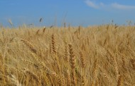 WESTERN ONTARIO: Wheat suffers worst winter in years but pushes straw prices up