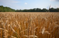 Wheat growers disappointed with Supreme Court's ruling in favour of federal carbon tax regime
