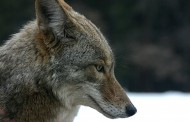 WESTERN ONTARIO: Grey County led Western and Southwestern Ontario in predator claims last year
