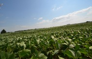 What crop rotation? Prescott-Russell plants more soybeans-on-soybeans every year
