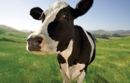 Cow toilets invented but can you teach cows to use them?