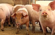 BC SPCA won't recommend charges against pig farm: undercover video couldn't be verified