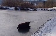 Cow stranded on frozen pond in Oregon gets rescued Indiana Jones style