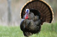 Turkey sales down but holding: Will curbed Christmas gatherings hurt industry?