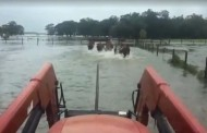 VIDEO: Texan ranchers herding cattle to higher ground as Harvey hits