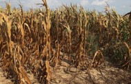 WESTERN ONTARIO: Sarnia plant hits pause on plans for wheat straw, corn stalk processing