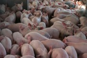 WESTERN ONTARIO: Thieves hit pig farm in Huron County