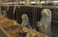 Animal activist and mink farm both facing charges