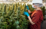 Greenhouses facing even tighter labour squeeze as employees head to pot growers