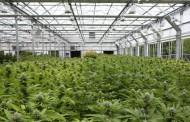 B.C. municipalities protest after province declares marijuana growing is farming