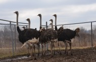 EASTERN ONTARIO: Ostrich farming a niche market one farmer has managed to sustain