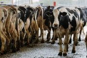 BC researchers suggest dairy cattle get moo-dy during puberty