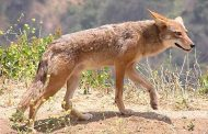 Potentially fatal tapeworm found in coyotes, foxes in Southern Ontario