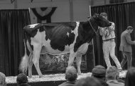 Half-interest in Netherlands cow sold at Royal's Sale of Stars