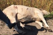 WESTERN ONTARIO: Caledon OPP shoot, kill escaped cow
