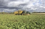 Sugar beet harvest not so sweet: yields average, sugar content down