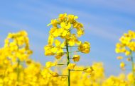 China no longer accepting Canadian canola seed, says Canola Council