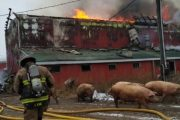 WESTERN ONTARIO: Firefighters save 300 sows after Tavistock-area hog barn goes up in flames