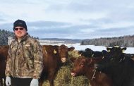 Stolen cows end up in Eastern Ontario field and Vankleek Hill auction