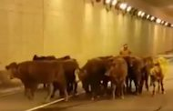 Man charged after 401 crash that killed 12 cattle, spilled many more onto the road