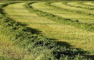 Up to 80 per cent of Eastern and East-Central alfalfa acres lost to winterkill but no feed shortage