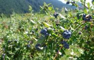 B.C. blueberry farm sells for over $100,000/acre