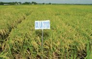 WESTERN ONTARIO: Experimental farm at Chatham-Kent planted first rice crop this year