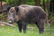 Province seeks input into wild pig strategy and updates to Invasive Species Act