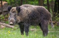 Watch out for wild pigs
