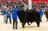 Royal supreme bull to be sold in late December